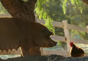 pig and rooster on farm