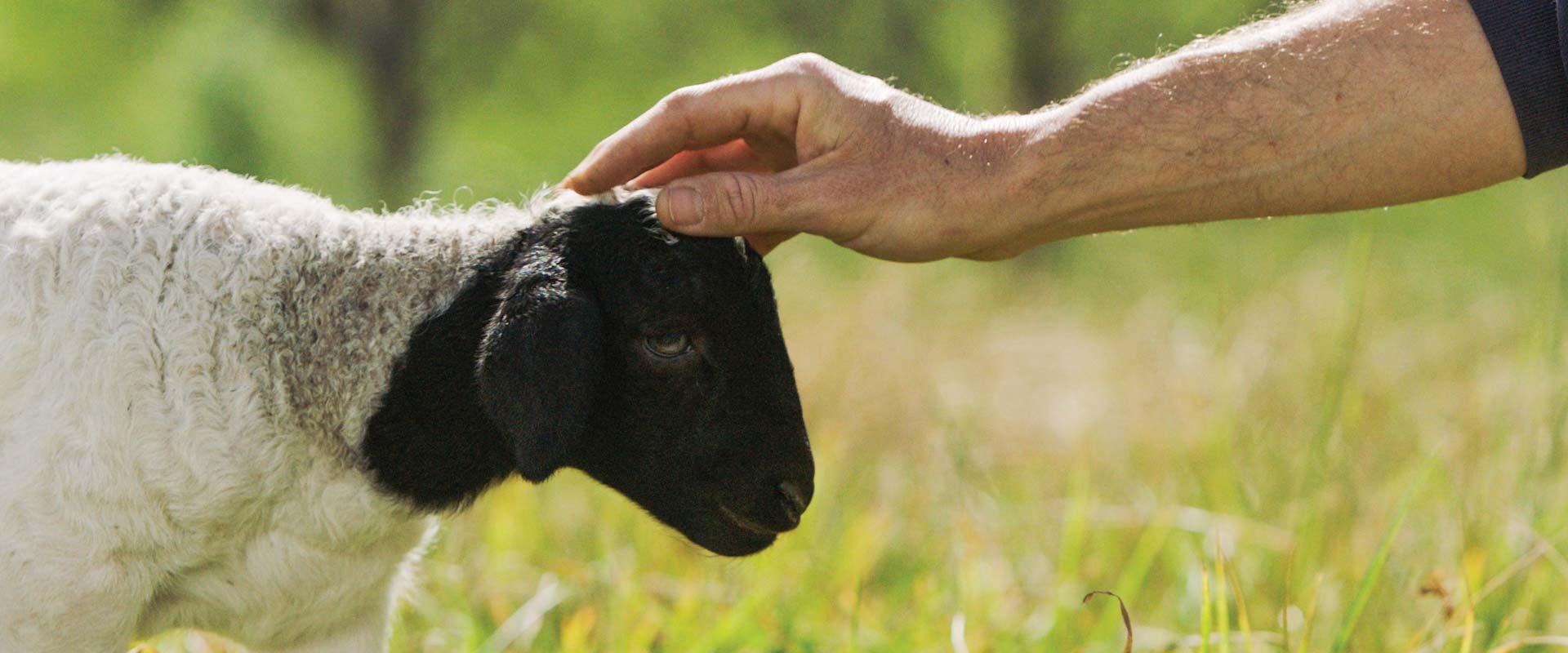hand petting a lamb